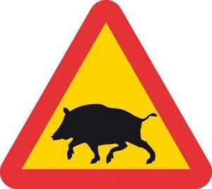Att krocka med ett vildsvin ger ofta större och dyrare skador på bilen än en krock med en älg.