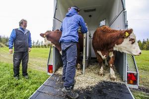 Augusta och Berta tittar nyfiket ut från djurtransporten. Två av tio kvigor som anlände till Byheden i lördags. Var är grönbetet?