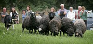 Full kontroll. Bordercolliern Dave bevakade minsta rörelse hos lammen i hagen. Foto:Peter Ohlsson