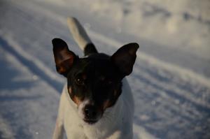 Här kommer lilla hunden Lotus springande i full fart med både öronen och svansen rakt upp i vädret.