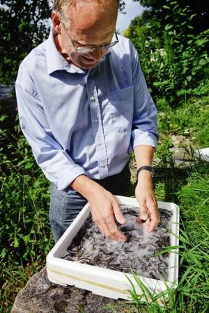 Kalle Gullberg visar de små ålarna som snart ska dyka ner i bottnarna utanför Axmar.