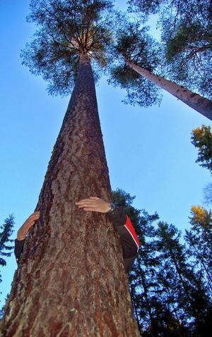 En stor del av skogen i det planerade Skärklacksreservatet utgörs av grov- och högstammig 180-årig tallskog.