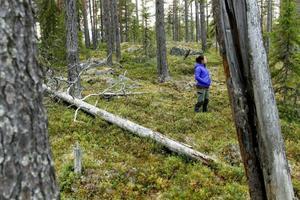 En del av den gamla tallskogen nära Håckren räddades från avverkning.