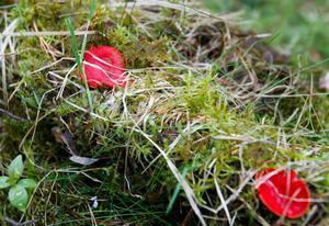 En ovanlig svamp - Scharlakansröd vårskål.