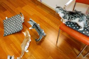Ettabildtext: I en lokal på Odensängsgatan i Östersund är det nu full fart. Det är 14 kattungar från trakterna av Bräcke som flyttat in i Djurskyddet Jämtlands katthem som officiellt invigs på lördag.