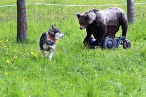 Efter en kort visit nära björnen vänder Ila tillbaka.