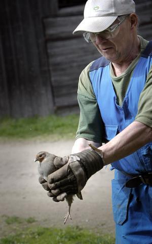 Börje Andersson har fått en rapphöna som följeslagare på gården.
