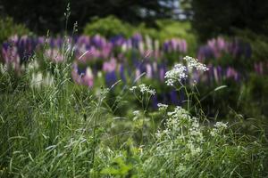 Lupinen är också en lömsk typ som erövrar det mesta i sin väg. Den är en invasiv art, alltså en art som slår ut andra, känsligare växter, där den breder ut sig. Hotade arter ur den svenska ängsfloran är bland andra prästkragar och blåklockor.