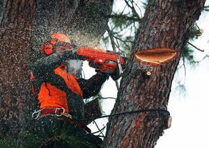 Eftersom tallen lutade så, fick Roger Andersson kapa trädet del för del.