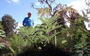 Börje Eriksson hoppas att kommunen tar bort de giftiga växterna längs gamla riksvägen i Enholn.FOTO:LEIF OLSSON