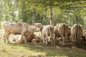 Tvätt och putsning i hagen. Ko-kompisar av rasen Charolais som bor på Härjeåsjöns lantgård.