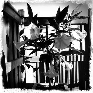 En mobilbild på vår änglatrumpet på terrassen. Eftersom blommorna var vita så passar det väl med en svartvit bild?