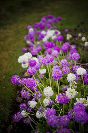 I Rays trädgård omhuldas både växter och djur. Här en härlig bollviverabatt i vårens tid.