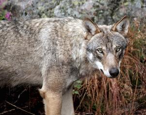 I slutet av september beslutade länsstyrelsen i Dalarna att sex vargar ska få skjutas i det så kallade Flatenreviret söder om Smedjebacken.