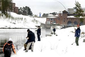 Skutskärsbon Ulf Skyman har fått en stor öring på fluga. Här får han hjälp av Micael Strömberg, Johan Skyman och Niklas Johnsson att ta upp fisken på land.