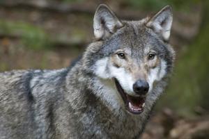 Naturskyddsföreningen Dalarna överklagar beslutet om licensjakt på varg.