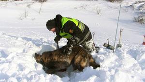 Ketil Reistad med hunden Koss jobbar snabbt och målmedvetet.