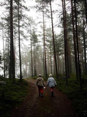 Flera tusen thailändska plockare i Norrland hoppas nu hitta en plats med mycket bär. Foto: Scanpix