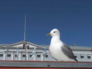 En fiskmås på torget i Helsingfors.
