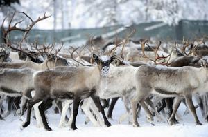 Sedan renarna räknats och släppts för att delvis gå till slakt så kom en varg in i hjorden och splittrade den.