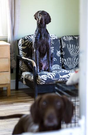 I vardagsrummet huserar två av familjens fyra draghundar.