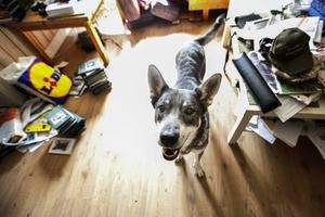 Jämthunden Ronja är en duktig älghund och hon är godkänd som eftersökshund i samband med viltolyckor.