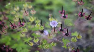 Svedjenävan är en av de mycket ovanliga växter som kan komma att trivas i Hälleskogsbrännan.