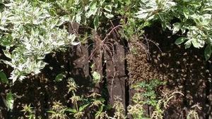 Här samlas bina på staketet.