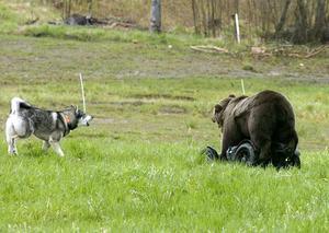 Test på permobjörn är en av aktiviteterna under Jakthundens dag.