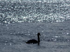 En ensam svan i solen i dalälven och vår i luften