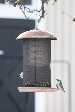 Nötväckan är en fågel som tidigare varit sällsynt i de här delarna av landet, men som sökt sig uppåt på grund av det mildare klimatet.