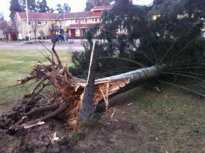 De ståtliga träden utanför polisstationen i Rättvik fick ge sig för de kraftiga stormvindarna.