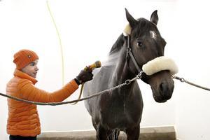 """Tas om hand. Hästarna får """"spavård"""" varje kväll."""