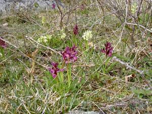 Sista april var vi på Ängsö och såg Adam och Eva i praktfull blomning tillsammans med vitsippor, gullvivor och styvmorsviol.