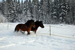 Tog med mej kameran ut och släppte min och mammas häst i paddocken och lät dom busa i snön.
