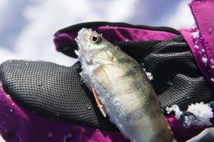 Ett par abborrar nappar under fisketuren på Björköfjärden. Det är Alice som drar den första men lillasyster Frida som får upp den största.
