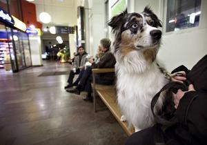 ÄKTA VARA. Wanna är en äkta vallhund från Australien och inte någon simpel blandning av allt möjligt, som undertecknad trodde.