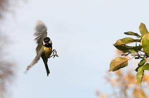 Småfåglarna börjar flockas vid fågelborden och tagoxarna är både vackra och roliga att titta på.