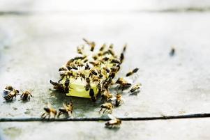 Luktar drottning. Nyfikna bin surrar runt lådan med drottningen i. Matias Köping prenumererar på framavlade drottningar med särskilt goda egenskaper.