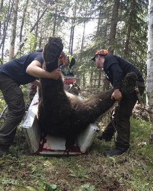Jättebjörnen sköts i Degersjö utanför mellan Myckelgensjö och Solberg.