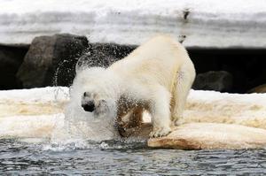 En isbjörn på Svalbard.