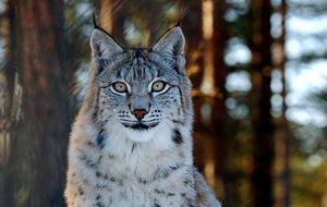 Lodjur är ett av de rovdjur inventeras och den 6 september börjar den nya samordnare vid länsstyrelsen dalarna sitt arbete.