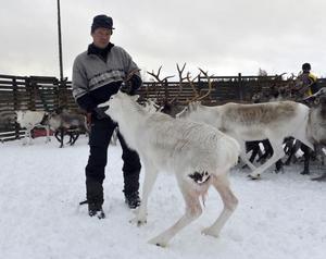 Peter Andersson med en svårt vargriven ren som direkt fick gå till slakt.