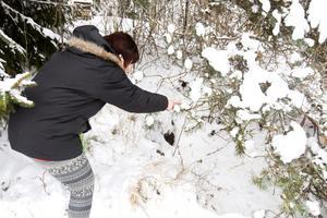 Här under granen ligger en gammal jordkällare, Susanne Renström tror att vargarna kanske använder den som lya. Här finns massor av spår efter tassar.