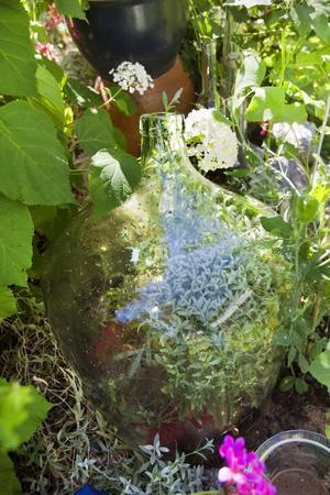 Eget liv. En damejenne sprack i botten, en av Eva-Lenas perenner började växa inne i glasflaskan och sticker nu ut några trevande bland.