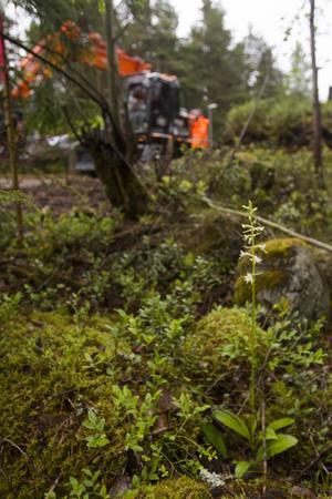 Ett stenkast från Gästrike vattens grävmaskiner står nattviolen.