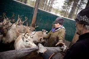 Tomas Kroik Kristoffersson, en av de samer som bedriver vinterbete utanför Junsele, anser att det är omöjligt med vargar i området. Här jobbar han med insamling av renar utanför Näsåker.