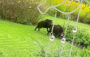 Tre vildsvin var i trädgården, enligt familjen. Två av dem parade sig med varandra. Foto: Privat