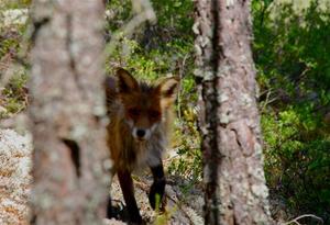 Jag mötte räven på skogsstigen,vet inte vem som blev mest överraskad,mickel reste i alla fall ragg.