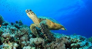 Havssköldpaddor är några av de djur man ska kunna se på undervattensmuseet i Kenya.